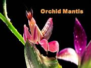 1-Insect-Orchid Mantis-1