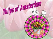 Tulips of Amsterdam