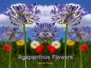 1-Spring-20-flowers-Agapanthus