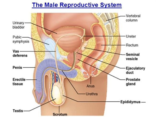 Male Reproductive System Diagram | The Male Reproductive System Authorstream