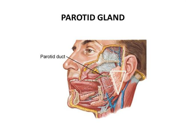 Parotid Gland |authorSTREAM