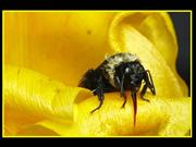 Bumble Bee (Macro Photography)