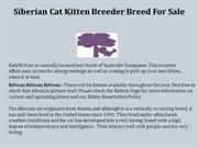 Siberian Cat Kitten Breeder Breed For Sale