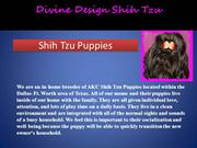 Shih-Tzu-Puppies