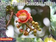 SPECIAL FLOWERS CANNOBALL TREE 01