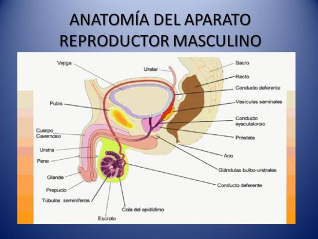 Ppt – sistema genital masculino powerpoint presentation | free to.