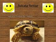 sulcata_tortise_stevie (1)