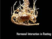 Hormonal interaction in rooting