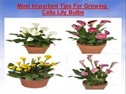 Most Important Tips For Growing Calla Lily bulbs