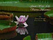 1-FLO-Water Lily Victoria Amazonica
