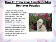 How To Train Your Female Golden Retriever Puppies