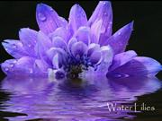 1-FLO-25-WATER LILIES-The Beauty