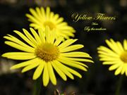 1-COLOR-14  Flowers-Yellow-By the seashore
