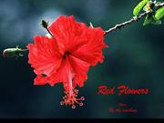 1-COLOR-23  Flowers-Red-By the seashore