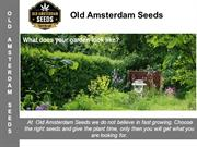 Old Amsterdam Seeds - New Cannbis Seeds