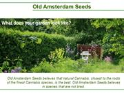 Old Amsterdam Seeds -Top Cannabis Seeds
