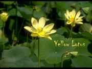 1-Mar 05-Yellow Lotus-Estrellita-Joshua Bell   violin-50