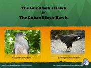 The Gundlach's Hawk andthe Cuban-Black Hawk
