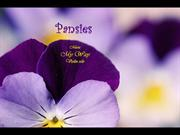 1-Mar 29-Spring FLOWER-3-Pansies-My Way-violin solo