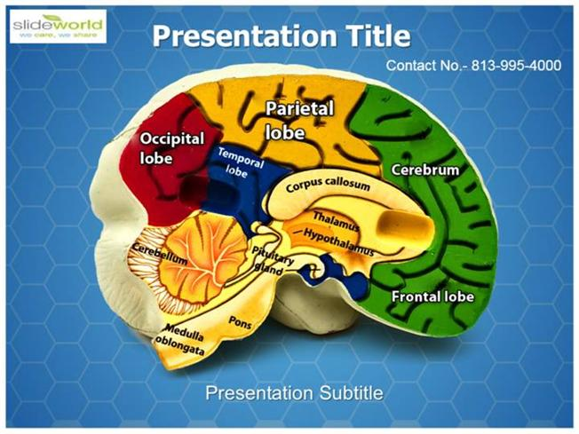 Brain Anatomy Parts Medical Powerpoint Template Authorstream
