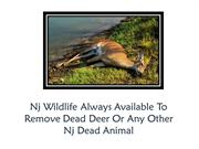 Nj Wildlife Always Available To Remove Dead Deer Or Any Other
