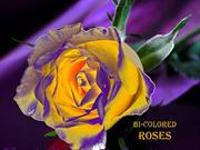 1-Aug 08-Flowers-Roses-Bicolored-God father-Katica Illenyi violin solo