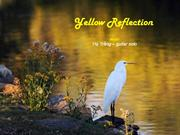 1-Aug 17-Reflection-Yellow-Hạ Trắng-guitar solo