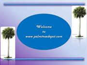 Palm Trees for Sale in USA for Sale in USA