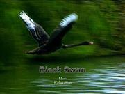 1-Sept 12-BIRDS-SWAN-Black Swans