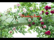 1-Sept 14-Flowers-Roses-CLIMBING ROSES-My Way violin