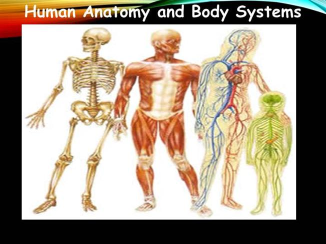 Human Anatomy And Body Systems Authorstream