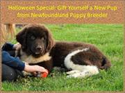 Halloween Special - Gift Yourself a New Pup from Newfoundland Puppy Br