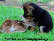 Mittelwest Best German Shepherd Dogs