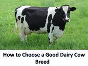 How to Choose a Good Dairy Cow Breed