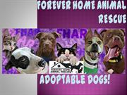 Available Dogs Forever Home Animal Rescue Feb 2017