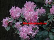 0-0-Rhododendron-Washington State Official Flower