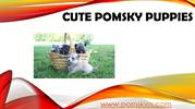 Love to play with Cute Puppies like Pomsky