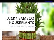 Lucky Bamboo House Plants Your Lucky Charm