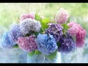 1-Sep 08-Summer  Flowers-Hydrangeas-Melanxolia-piano