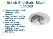 British Shorthair Cats - Silver Spotted