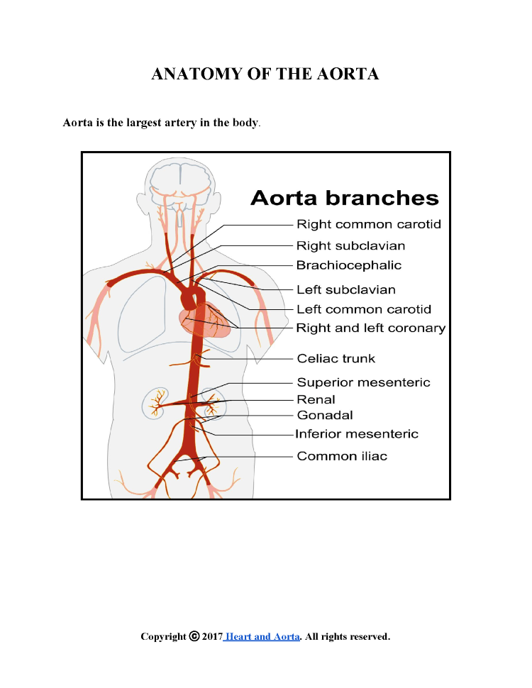 ANATOMY of the AORTA |authorSTREAM
