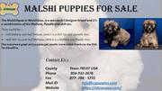 Malshi Puppies For Sale