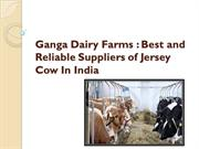 Ganga Dairy Farms: Best and Reliable Suppliers of Jersey Cow In India
