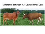 Difference between H.F. Cow and Desi Cow | GFO Farming