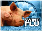 Swine Flu H1N1 virus