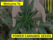 Weed Seeds UK | Feminized Seeds UK | Marijuana Seeds UK