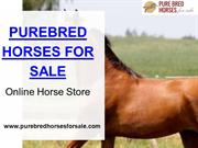 Buy Pure Breed Horse Online For Riding