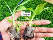 Tirupati green house nursery(Tissue culture banana)