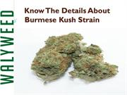 Know The Details About Burmese Kush Strain