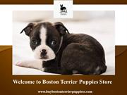 Welcome to Boston Terrier Puppies Store